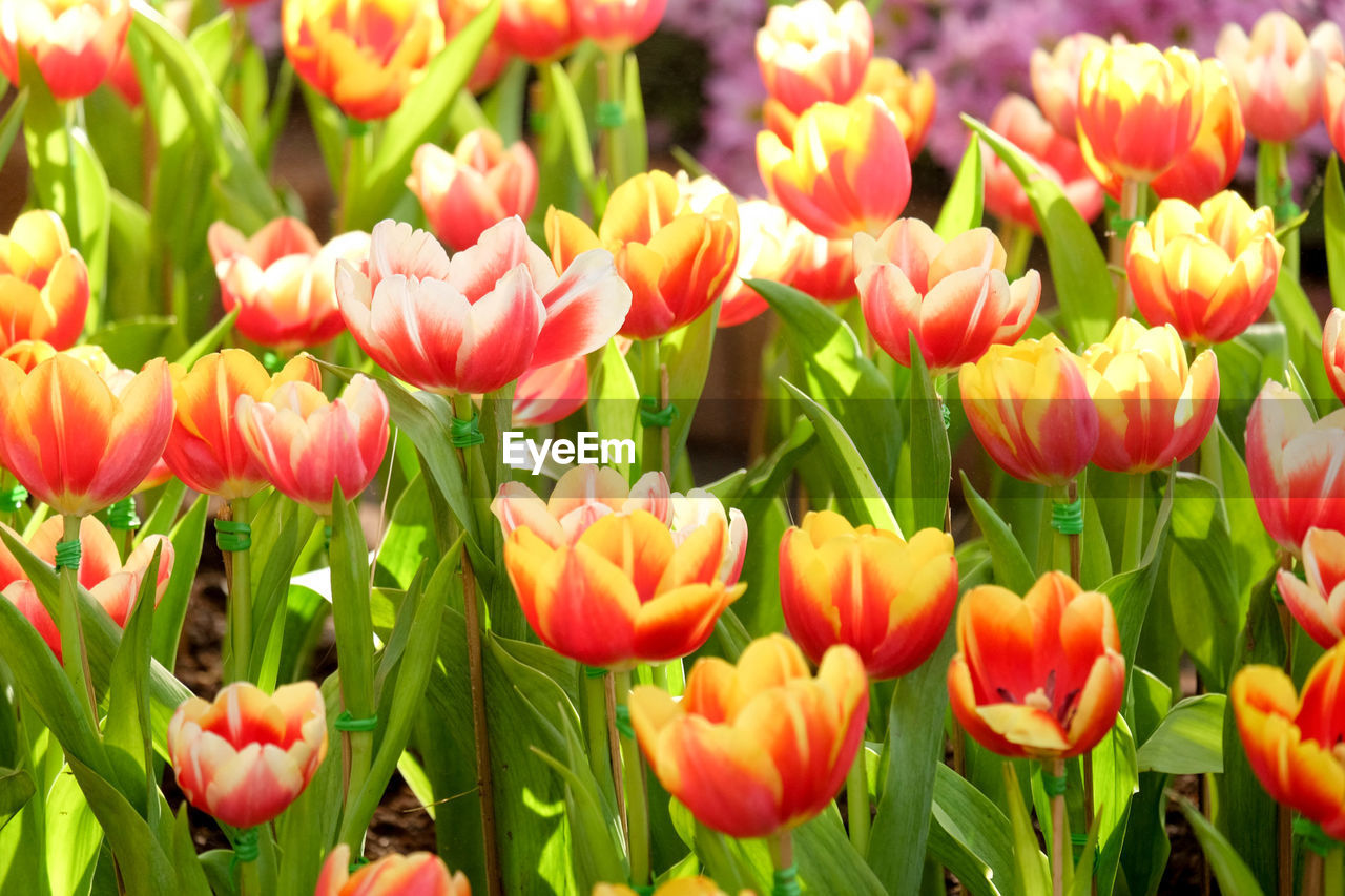 flower, growth, nature, petal, plant, beauty in nature, freshness, blooming, fragility, flower head, tulip, field, no people, outdoors, day, spring, close-up