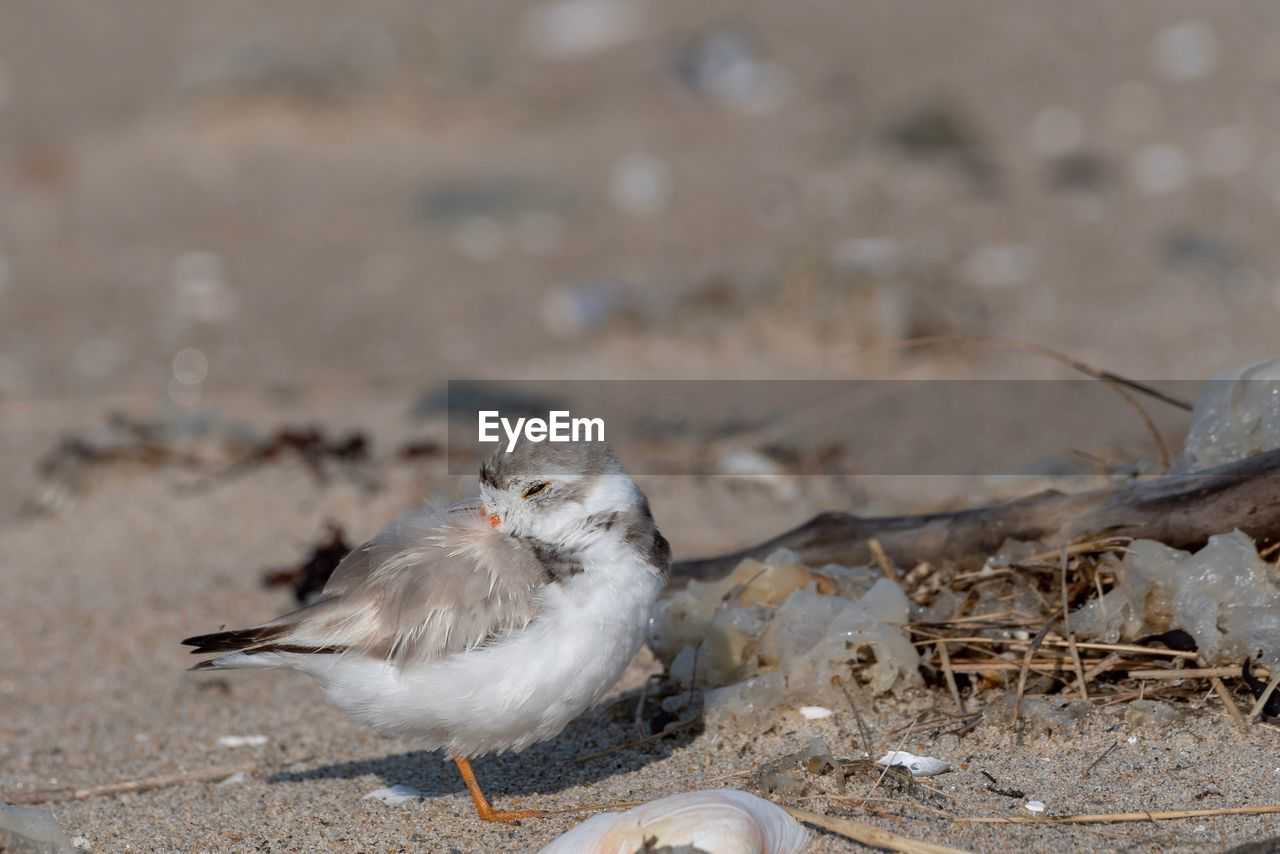 animal themes, animal, bird, vertebrate, one animal, land, animal wildlife, animals in the wild, day, no people, nature, focus on foreground, outdoors, beach, close-up, sand, field, seagull, perching, feather