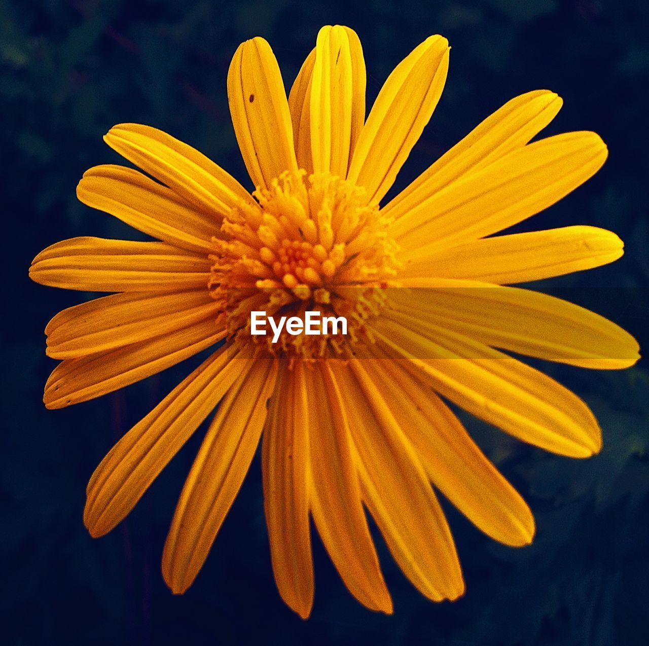 flower, flowering plant, vulnerability, fragility, freshness, petal, yellow, flower head, beauty in nature, plant, growth, inflorescence, close-up, pollen, focus on foreground, nature, no people, day, botany, gazania