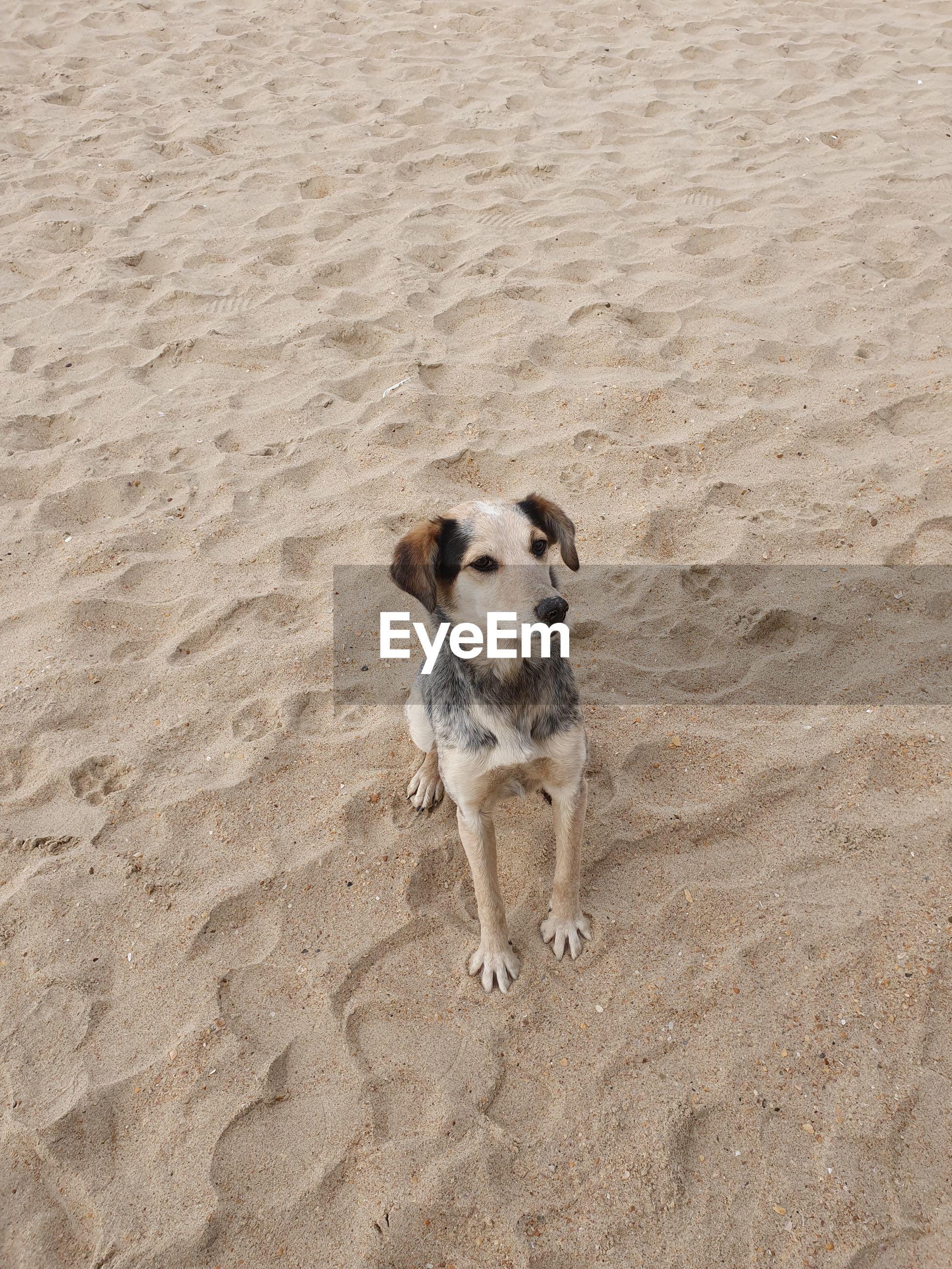 HIGH ANGLE PORTRAIT OF DOG ON SAND