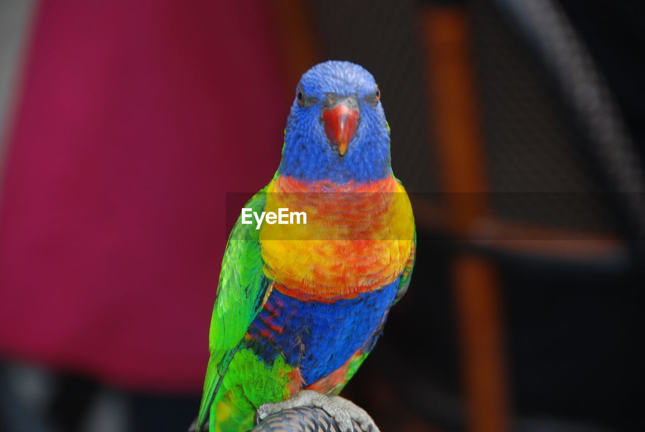 animal themes, vertebrate, parrot, animal, bird, animal wildlife, one animal, close-up, multi colored, animals in the wild, rainbow lorikeet, focus on foreground, no people, perching, day, nature, blue, beak, outdoors, beauty in nature