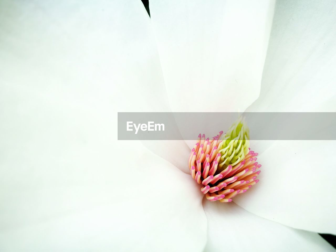 freshness, flower, no people, fragility, studio shot, close-up, nature, plant, beauty in nature, flower head, growth, day, white background, indoors