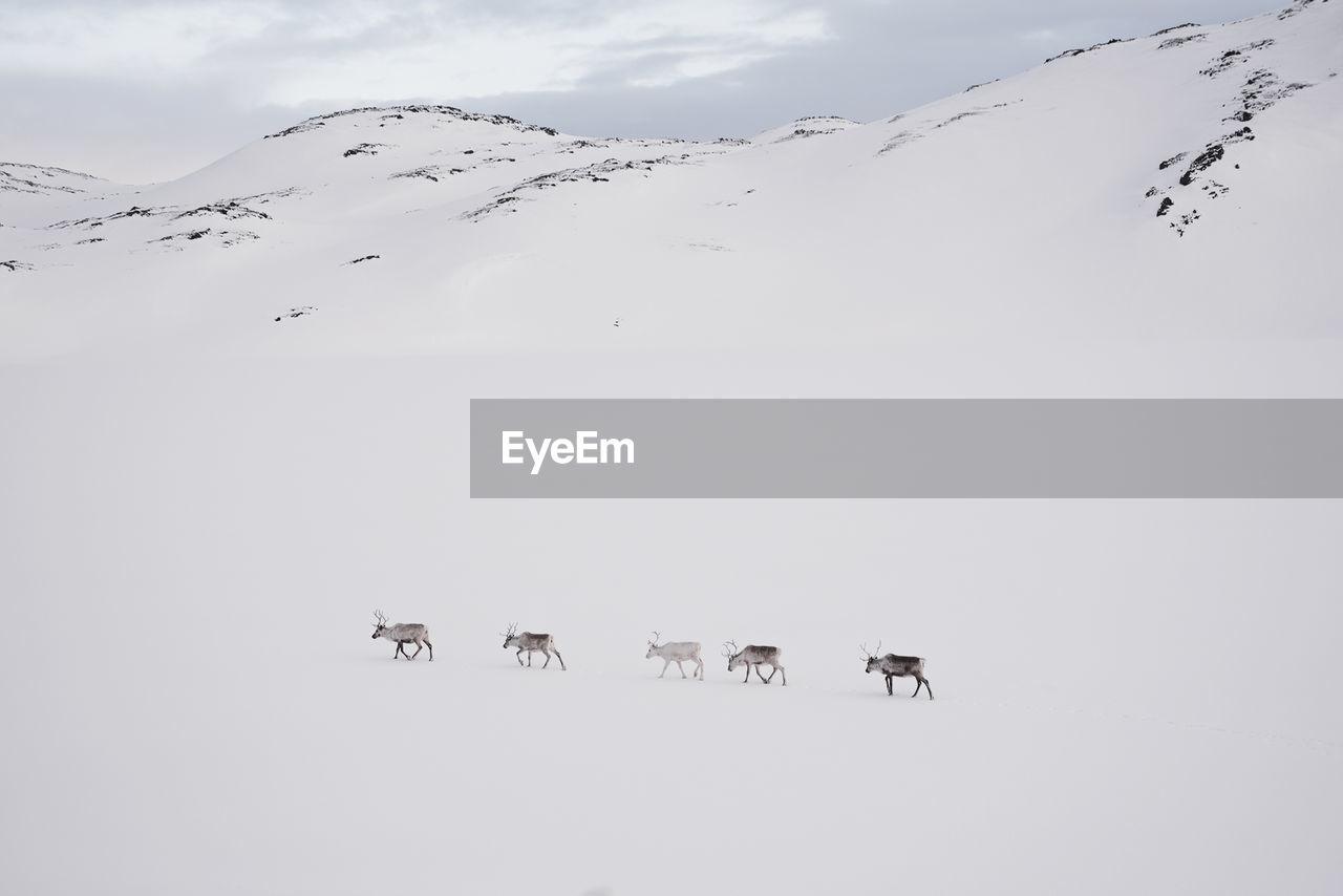 Reindeer Walking On Snow Covered Landscape