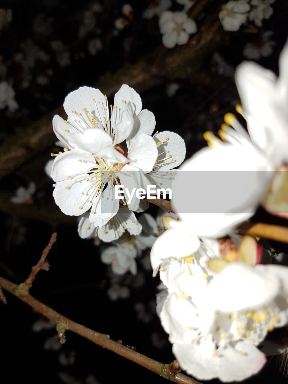 flower, white color, blossom, fragility, nature, freshness, beauty in nature, petal, white, growth, apple blossom, flower head, springtime, stamen, no people, close-up, branch, outdoors, blooming, tree, day