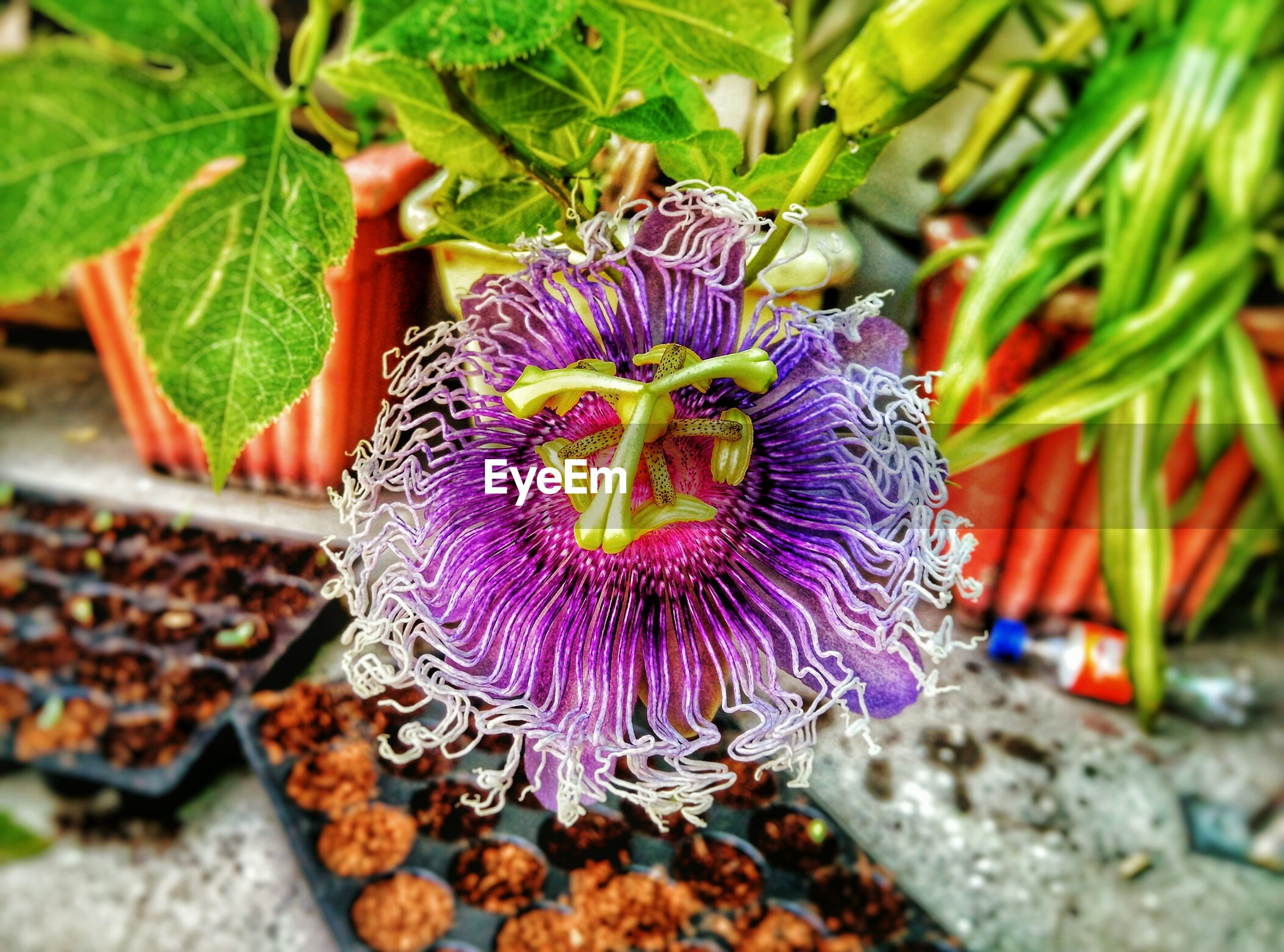 Close-up of passion flower blooming in garden