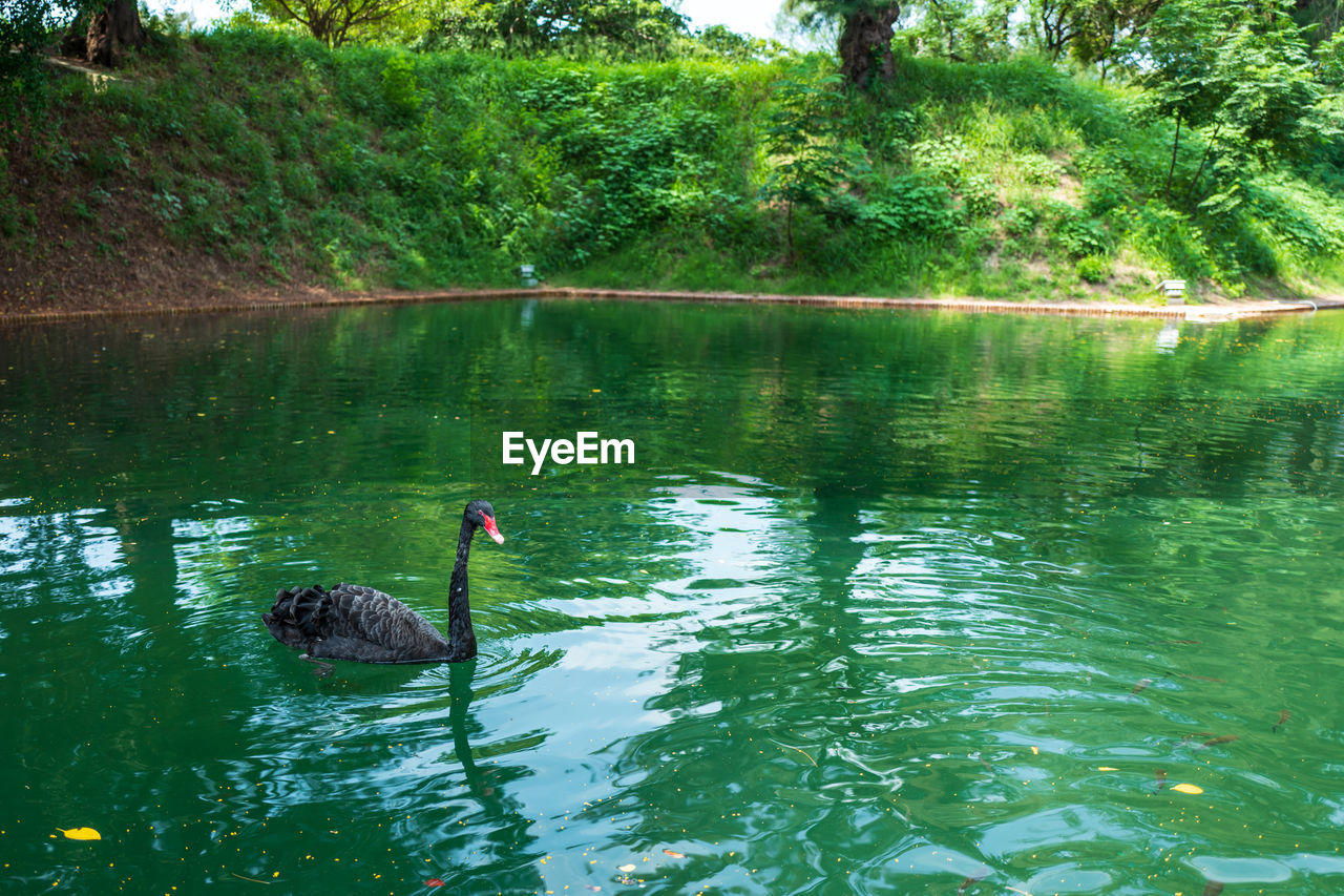 water, lake, bird, animals in the wild, vertebrate, animal wildlife, animal, animal themes, reflection, swimming, black swan, plant, tree, waterfront, day, nature, swan, no people, beauty in nature, floating on water