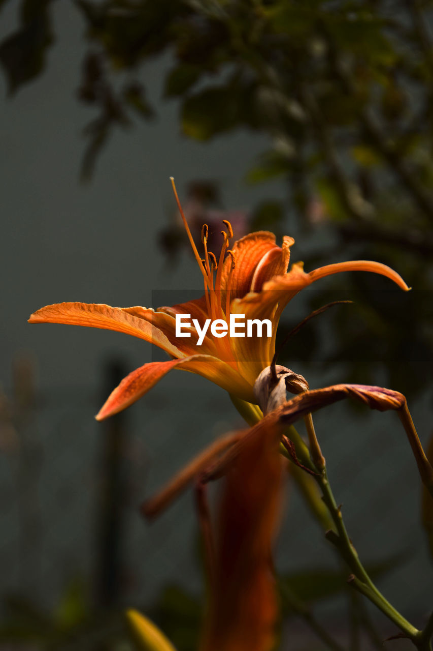 flower, flowering plant, vulnerability, fragility, plant, petal, growth, beauty in nature, inflorescence, flower head, close-up, orange color, focus on foreground, freshness, nature, lily, pollen, day, botany, no people, outdoors