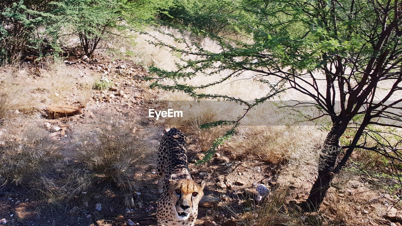 tree, animal, animal themes, mammal, plant, land, one animal, vertebrate, nature, animal wildlife, animals in the wild, field, domestic animals, forest, no people, day, pets, domestic, outdoors, standing, cheetah