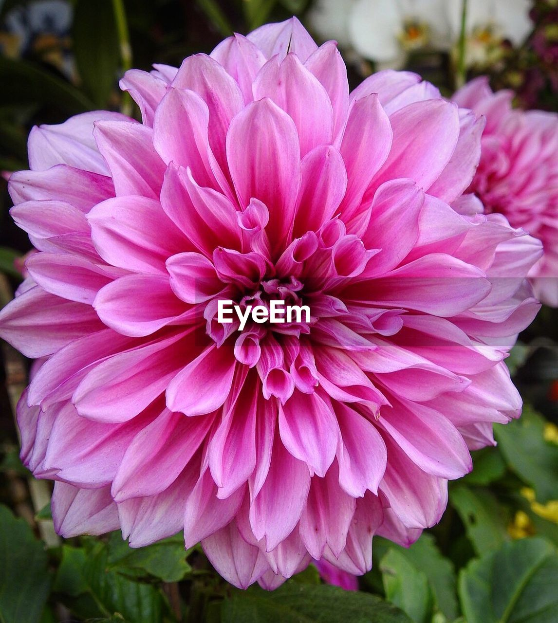 flower, petal, beauty in nature, nature, fragility, plant, flower head, growth, freshness, pink color, no people, blooming, outdoors, close-up, dahlia, focus on foreground, day