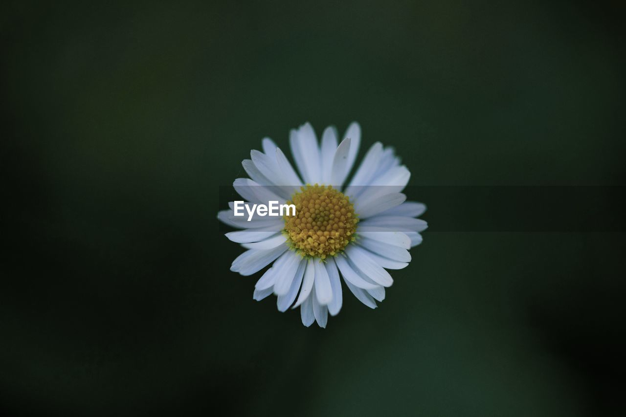 flower, flowering plant, vulnerability, fragility, freshness, petal, beauty in nature, plant, flower head, inflorescence, close-up, growth, white color, daisy, copy space, studio shot, pollen, nature, no people, black background