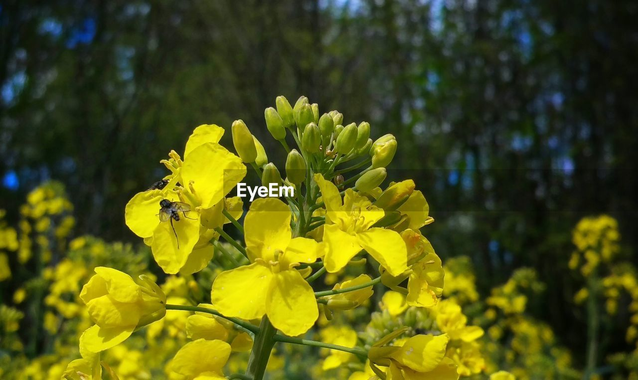 yellow, flower, nature, growth, beauty in nature, fragility, plant, blossom, freshness, springtime, petal, focus on foreground, outdoors, mustard plant, no people, day, blooming, close-up, flower head