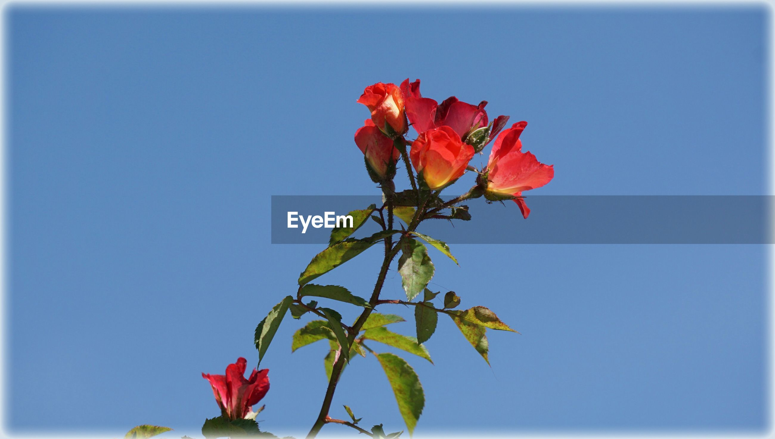 flower, petal, freshness, fragility, growth, beauty in nature, flower head, stem, leaf, nature, close-up, clear sky, red, plant, copy space, blooming, bud, blossom, in bloom, low angle view