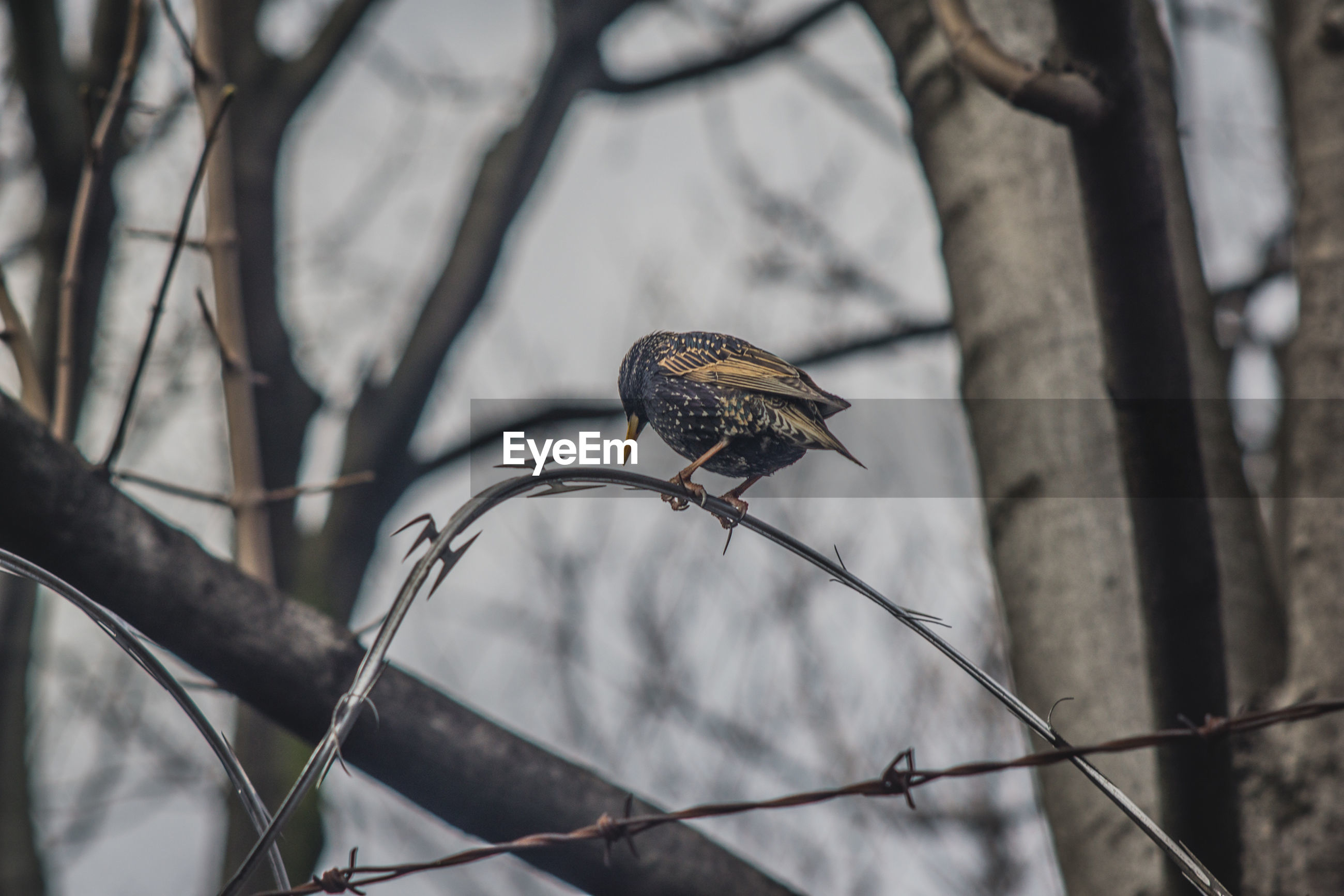 Low angle view of bird perching on barbed wire against trees