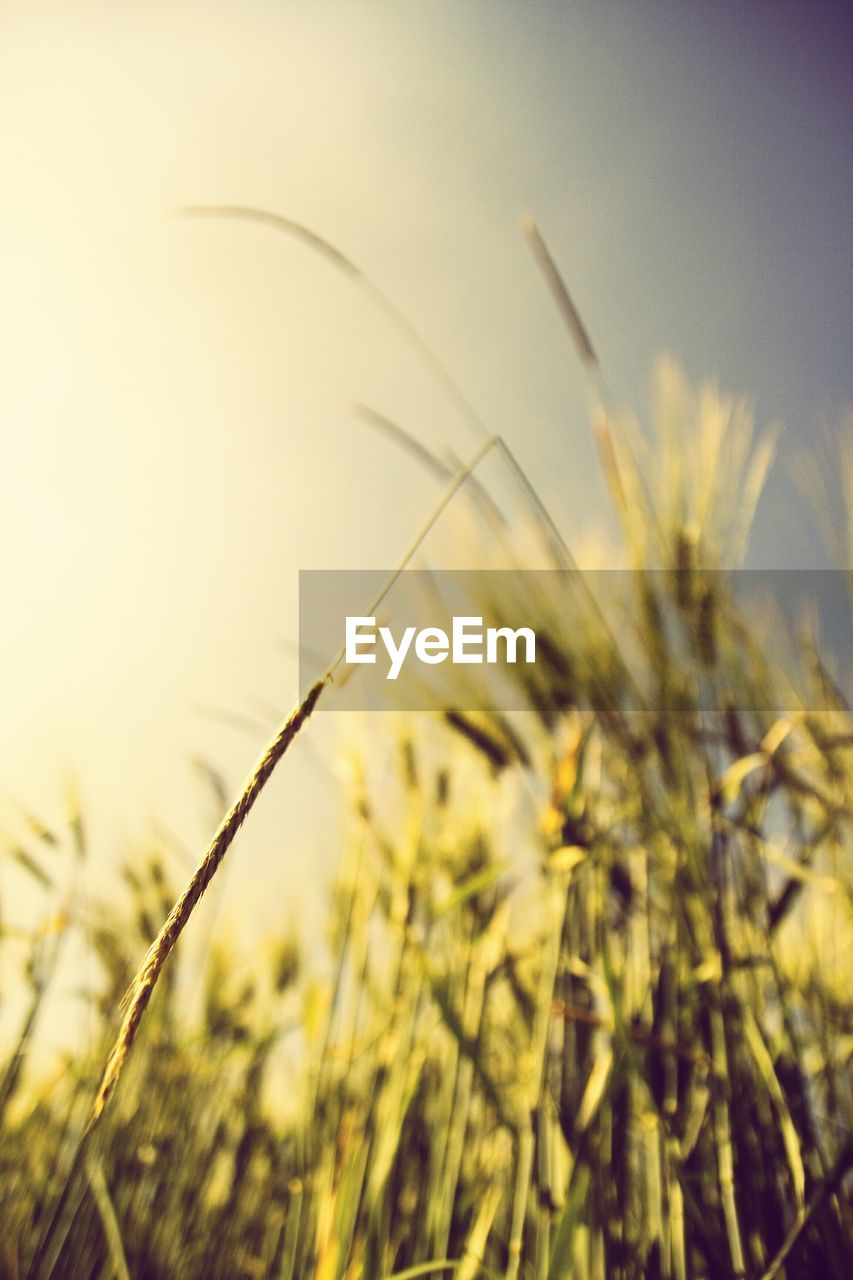 growth, nature, plant, no people, field, focus on foreground, close-up, grass, tranquility, wheat, beauty in nature, outdoors, day, clear sky, freshness, sky