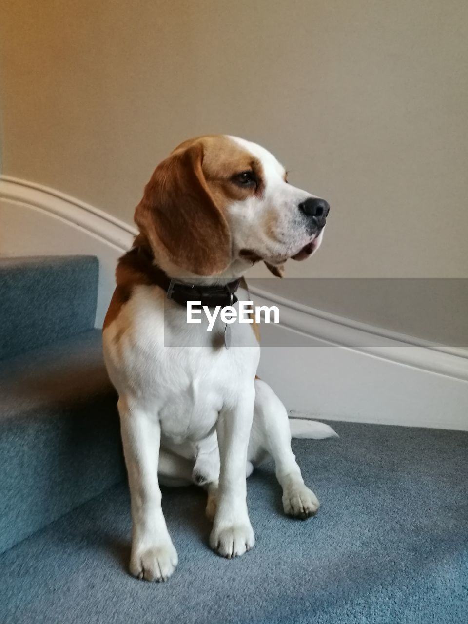 pets, dog, one animal, domestic animals, animal themes, mammal, sitting, indoors, home interior, no people, beagle, close-up, day