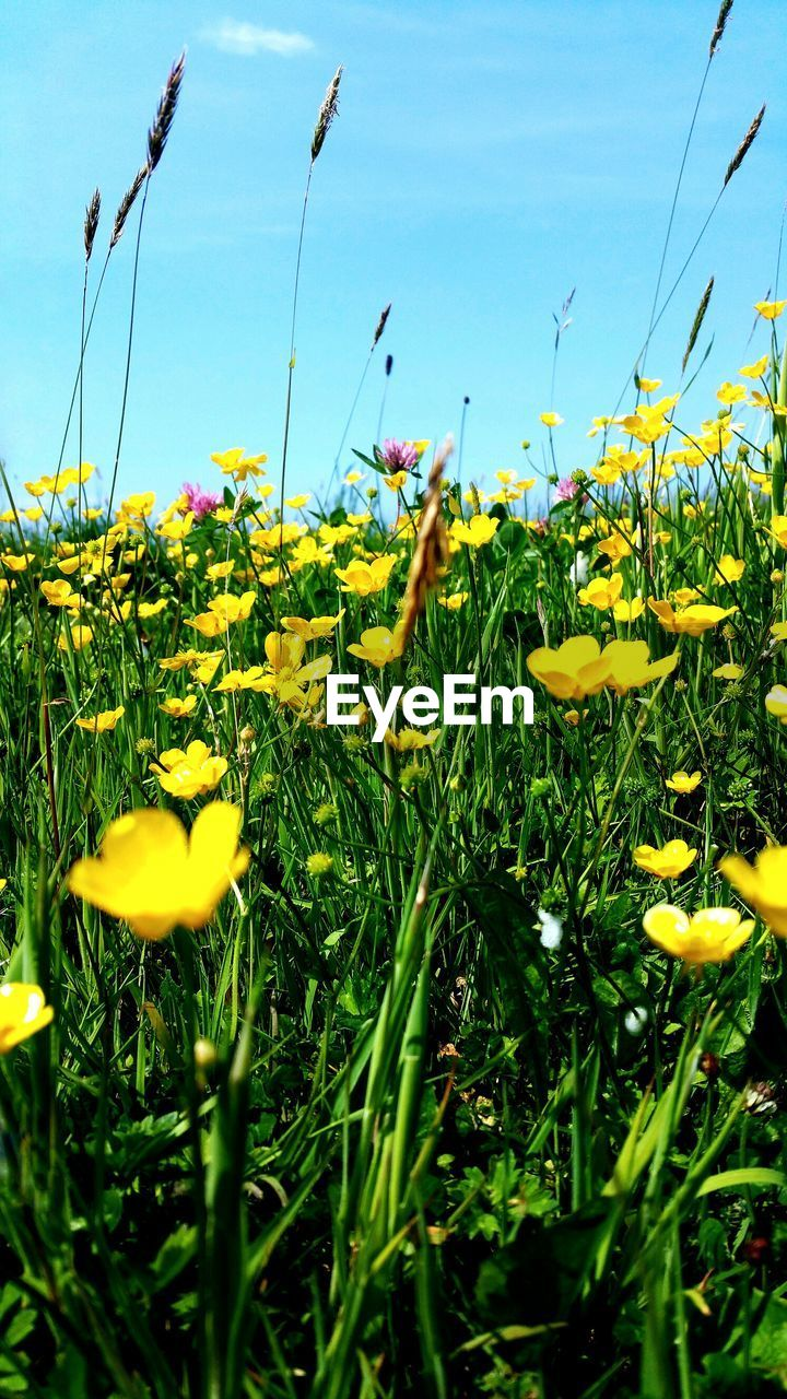 CLOSE-UP OF YELLOW FLOWERING PLANTS GROWING ON FIELD AGAINST SKY