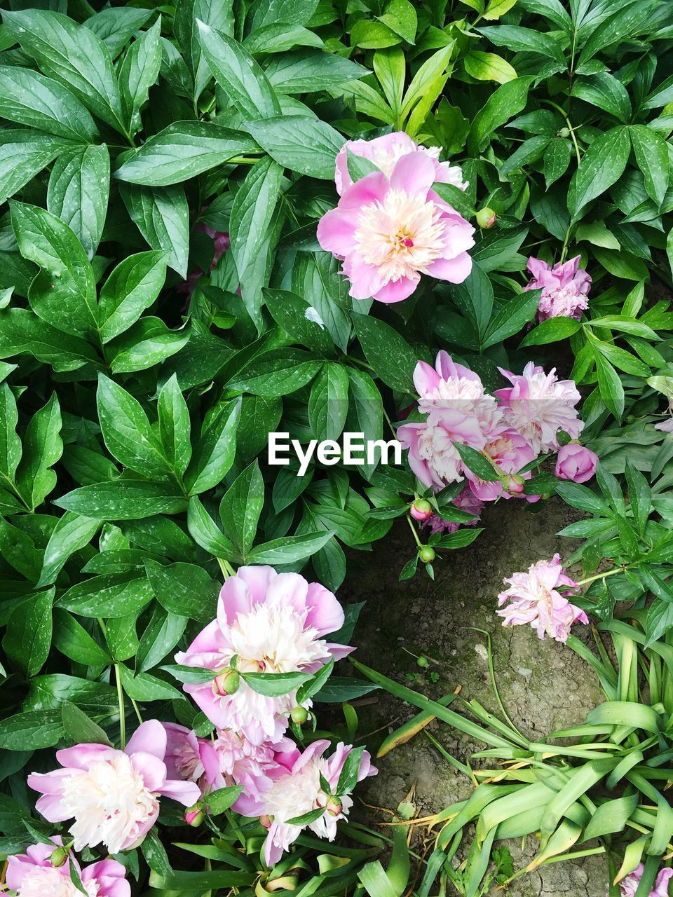 flowering plant, flower, freshness, beauty in nature, fragility, plant, vulnerability, petal, plant part, pink color, leaf, growth, flower head, inflorescence, nature, green color, close-up, no people, high angle view, day, outdoors
