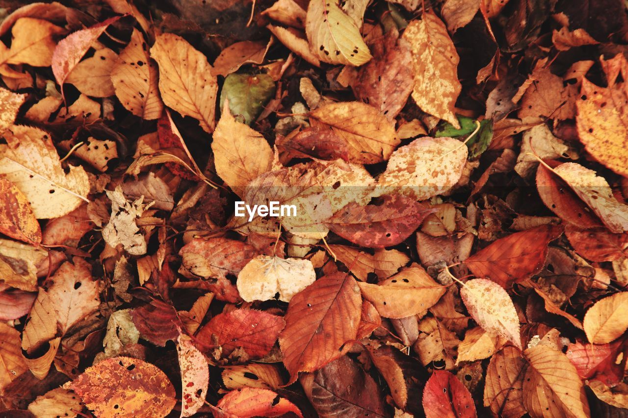 full frame, plant part, leaf, backgrounds, autumn, dry, leaves, change, no people, large group of objects, abundance, nature, day, close-up, falling, nut, high angle view, directly above, vulnerability, outdoors, natural condition, dried, fall