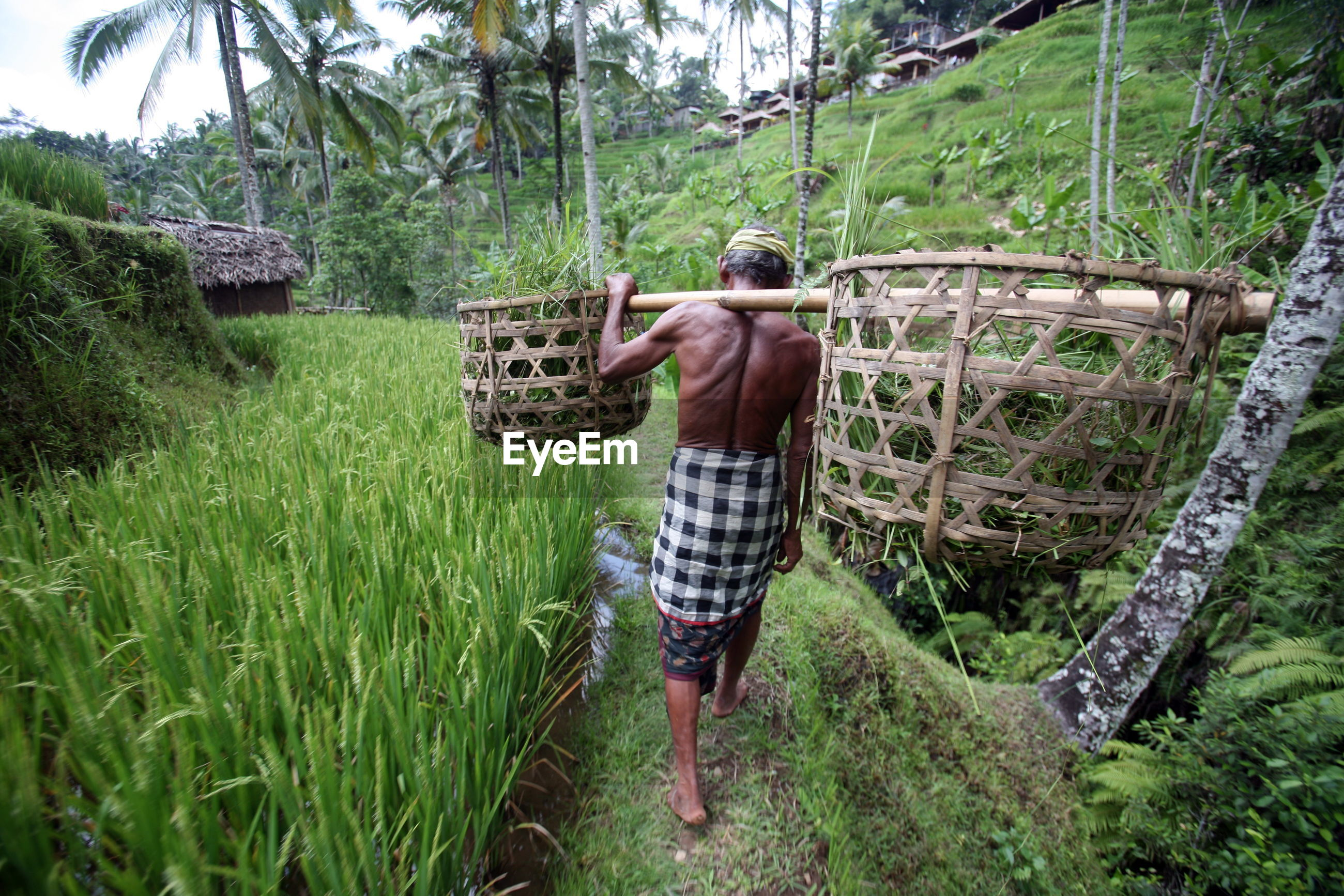Full length rear view of shirtless farmer walking on rice paddy field