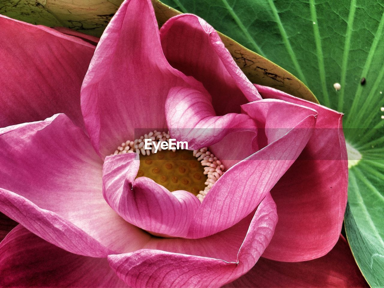 Close-up of fresh pink lotus water lily amidst green leaf