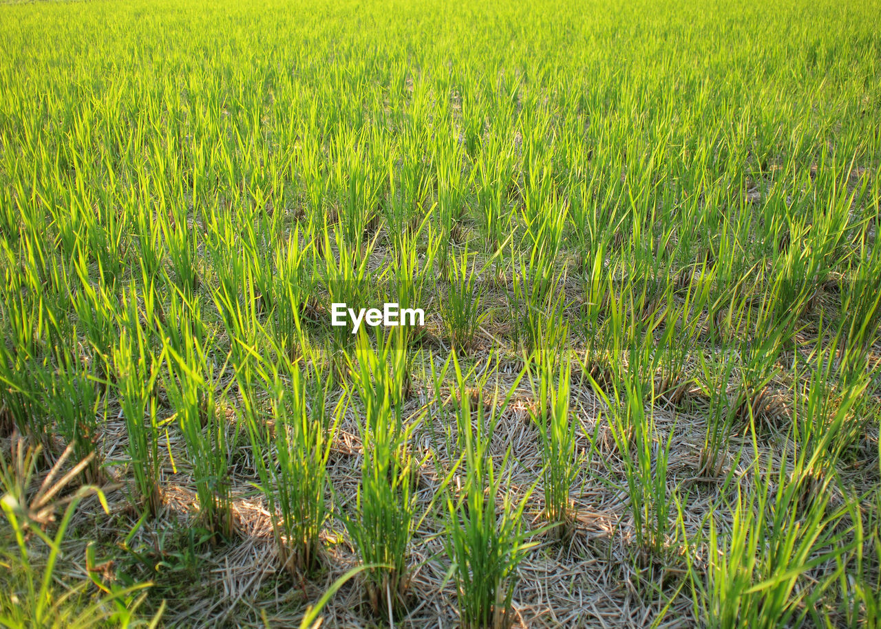 growth, field, grass, nature, crop, agriculture, green color, tranquility, farm, plant, beauty in nature, day, cultivated land, outdoors, tranquil scene, cereal plant, rural scene, no people, scenics, rice paddy, wheat, landscape, freshness