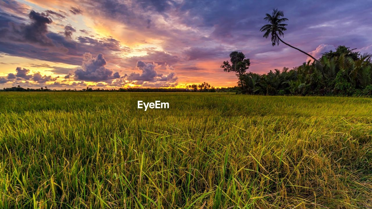 plant, sky, cloud - sky, scenics - nature, beauty in nature, sunset, field, tree, environment, land, tranquil scene, landscape, growth, grass, tranquility, nature, green color, no people, agriculture, rural scene, outdoors