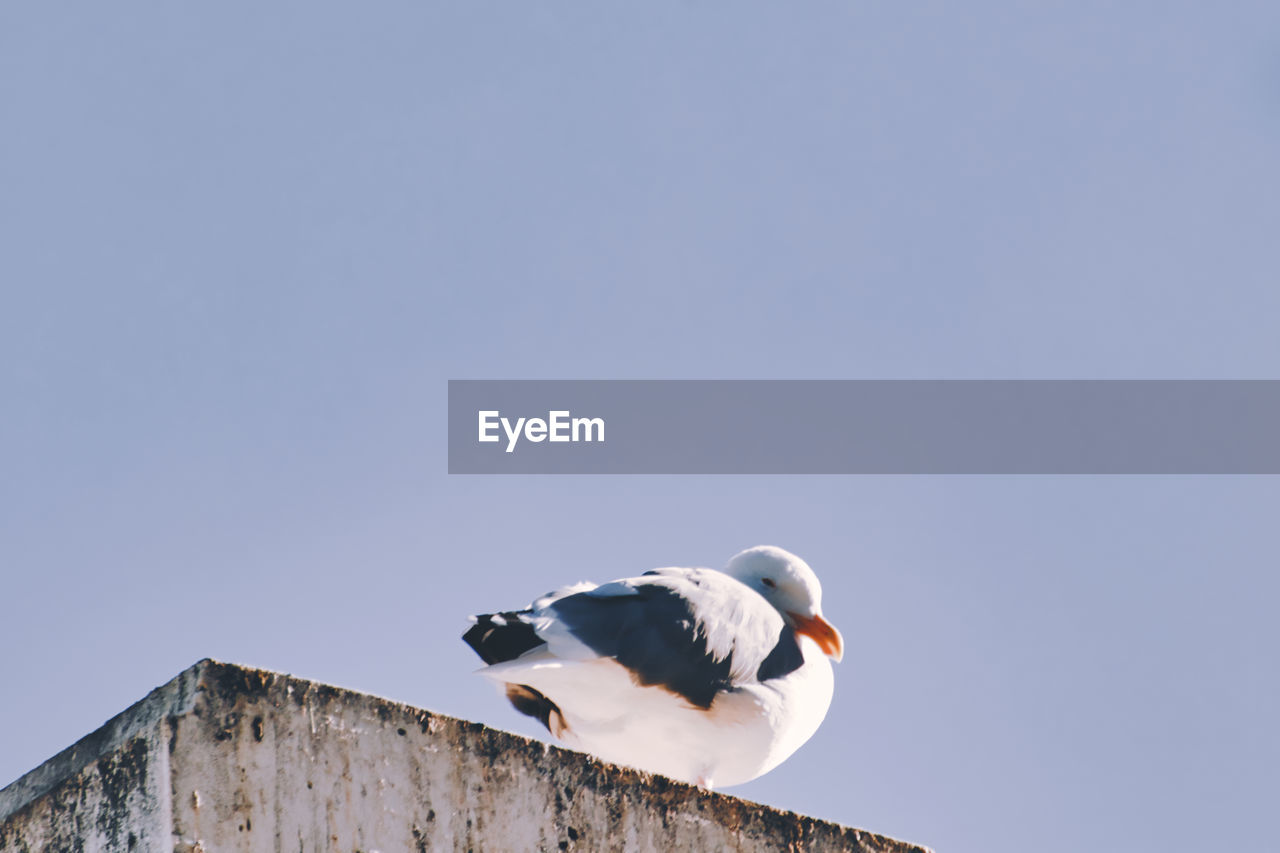 LOW ANGLE VIEW OF SEAGULL
