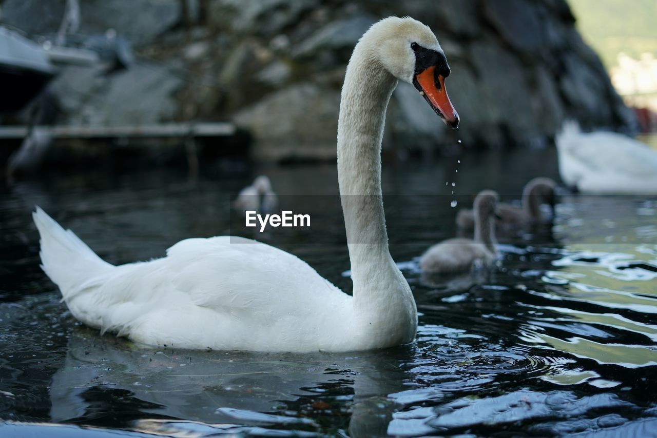 Swans And Cygnets Swimming In Lake
