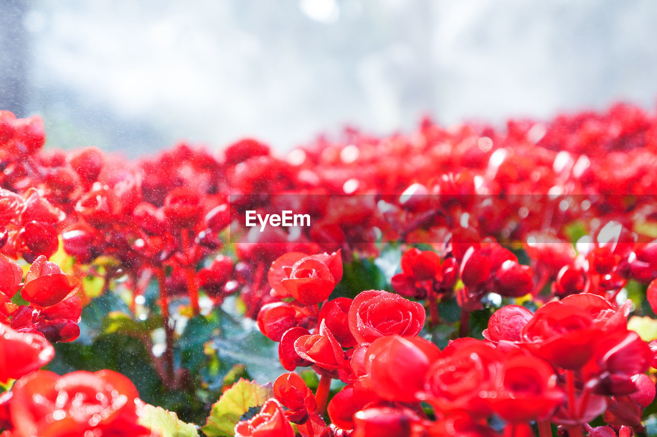 red, flower, petal, nature, beauty in nature, freshness, fragility, growth, no people, flower head, close-up, plant, day, outdoors, blooming, sky