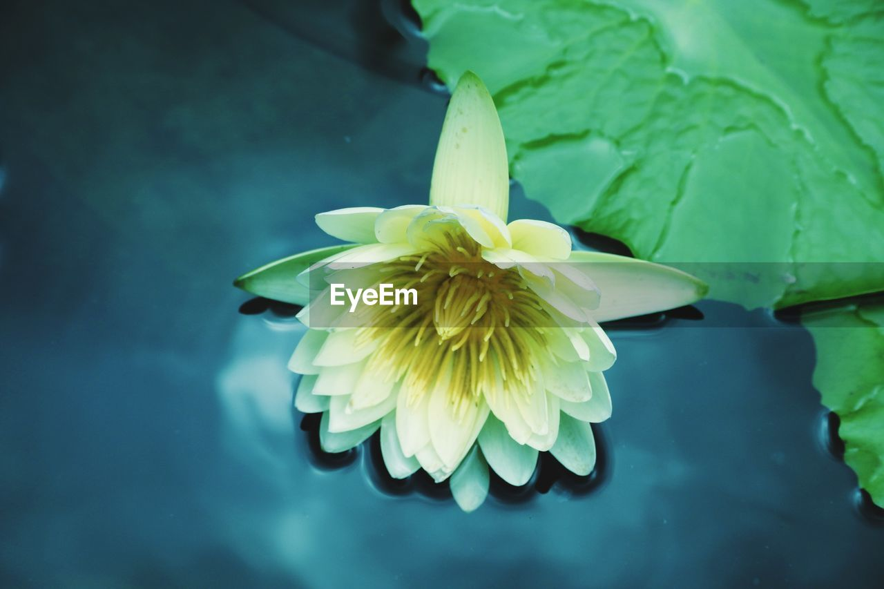 flower, flowering plant, vulnerability, fragility, flower head, close-up, beauty in nature, plant, inflorescence, growth, freshness, petal, water, nature, water lily, focus on foreground, lake, no people, outdoors, floating on water, lotus water lily, purity