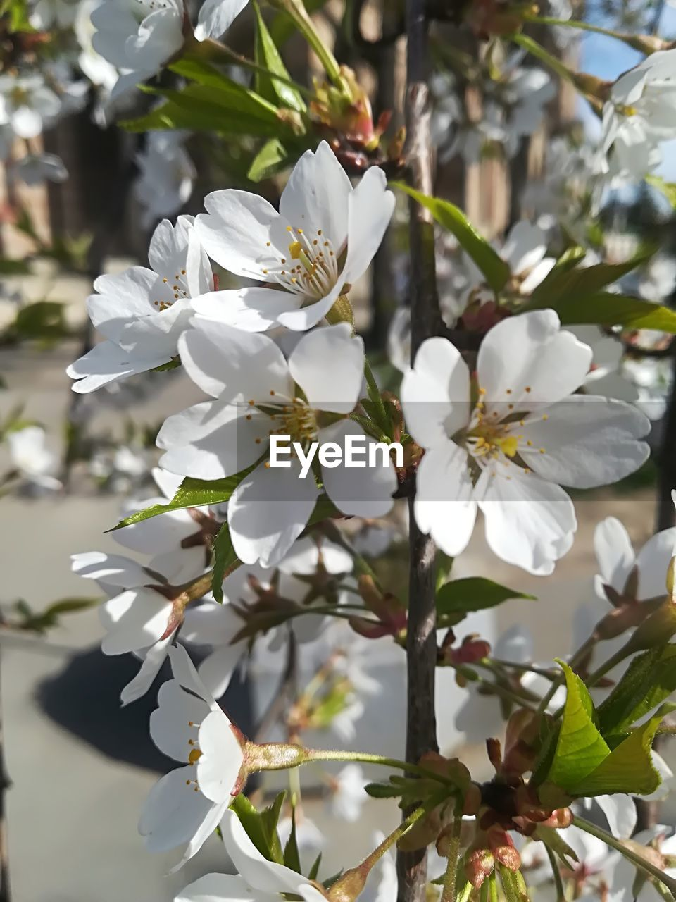 flowering plant, plant, flower, vulnerability, fragility, beauty in nature, growth, petal, freshness, white color, inflorescence, close-up, flower head, focus on foreground, pollen, nature, no people, tree, day, blossom, springtime, cherry blossom, spring