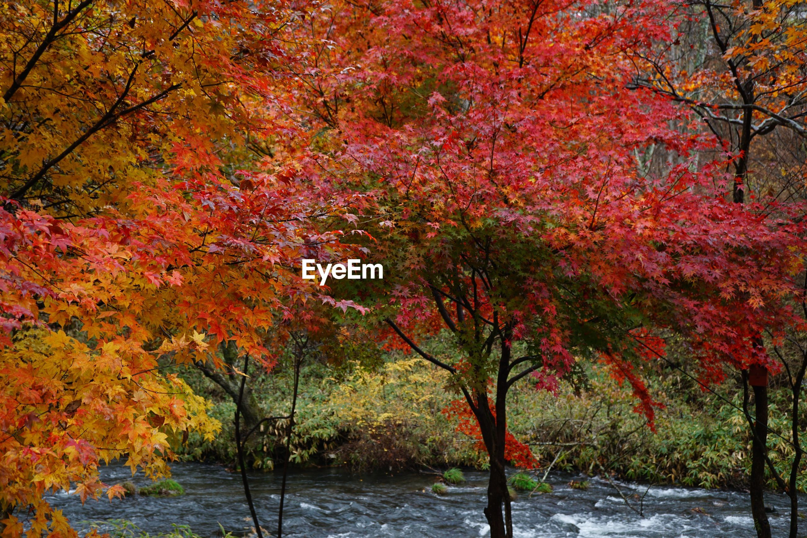 tree, plant, autumn, beauty in nature, change, nature, orange color, water, growth, no people, tranquility, branch, scenics - nature, day, outdoors, leaf, park, tranquil scene, maple tree, maple leaf, fall, autumn collection