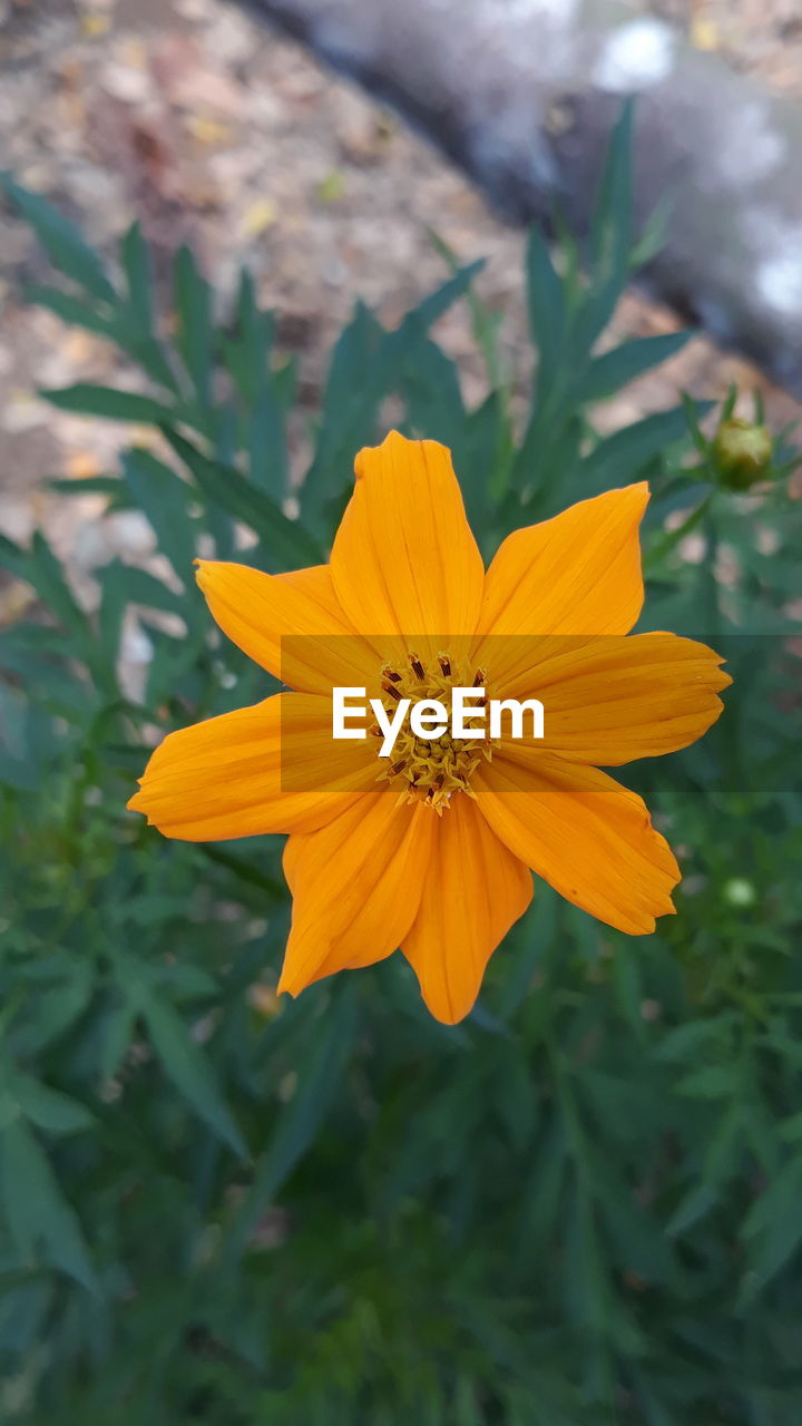 flowering plant, flower, freshness, fragility, plant, vulnerability, petal, beauty in nature, inflorescence, flower head, yellow, growth, close-up, pollen, cosmos flower, focus on foreground, nature, no people, day, outdoors, gazania