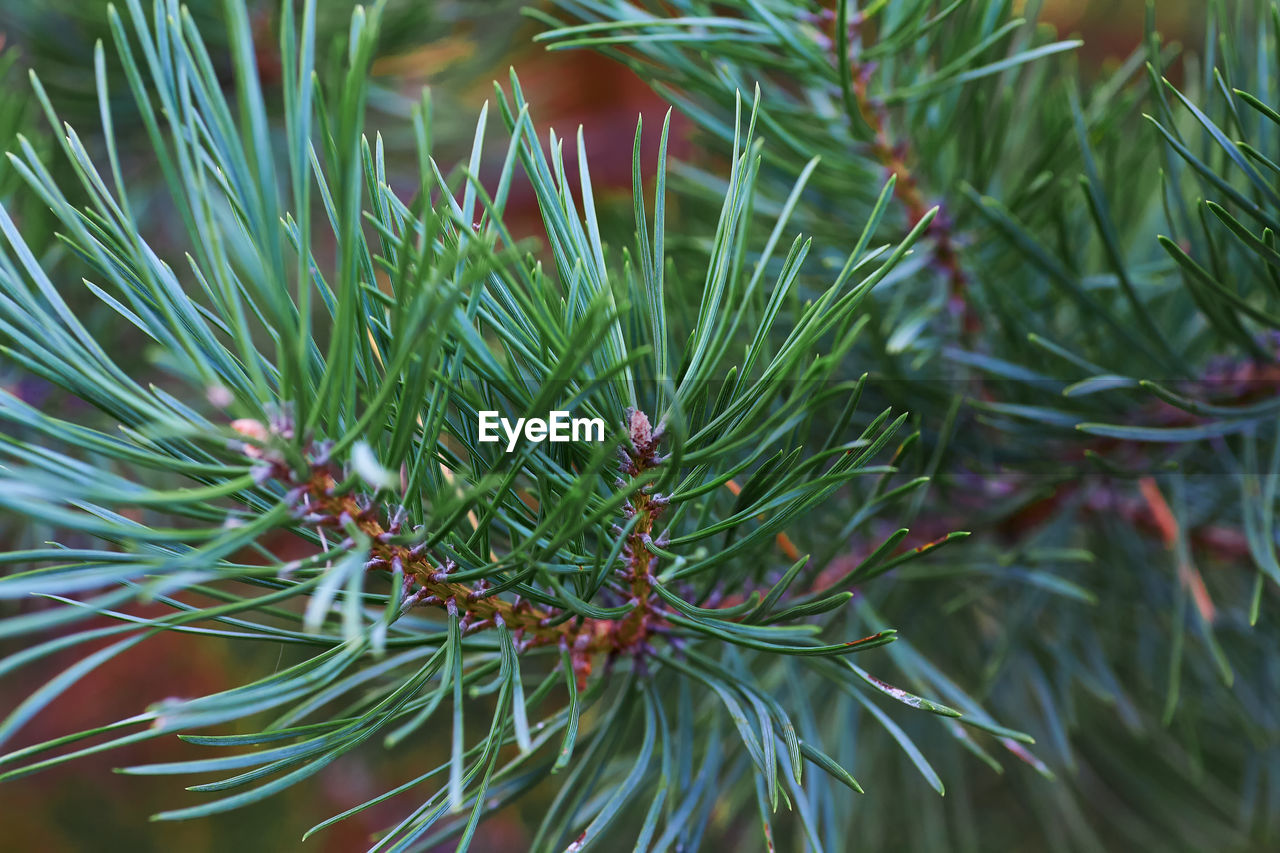 green color, plant, growth, close-up, beauty in nature, pine tree, day, needle - plant part, nature, selective focus, no people, tree, leaf, focus on foreground, plant part, tranquility, coniferous tree, branch, outdoors, freshness