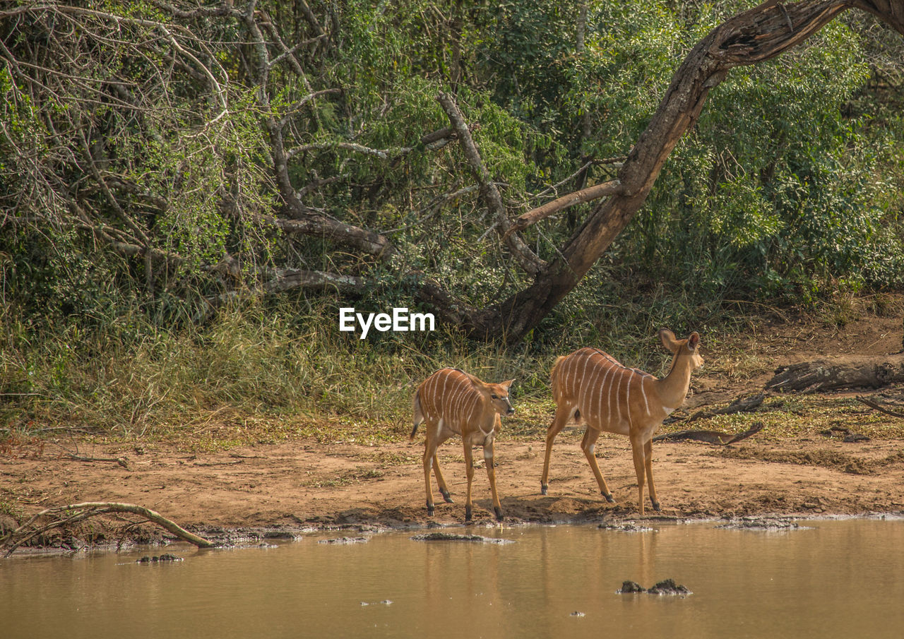 animal themes, animal, animal wildlife, tree, animals in the wild, plant, vertebrate, mammal, group of animals, water, forest, land, nature, no people, lake, day, standing, herbivorous, outdoors