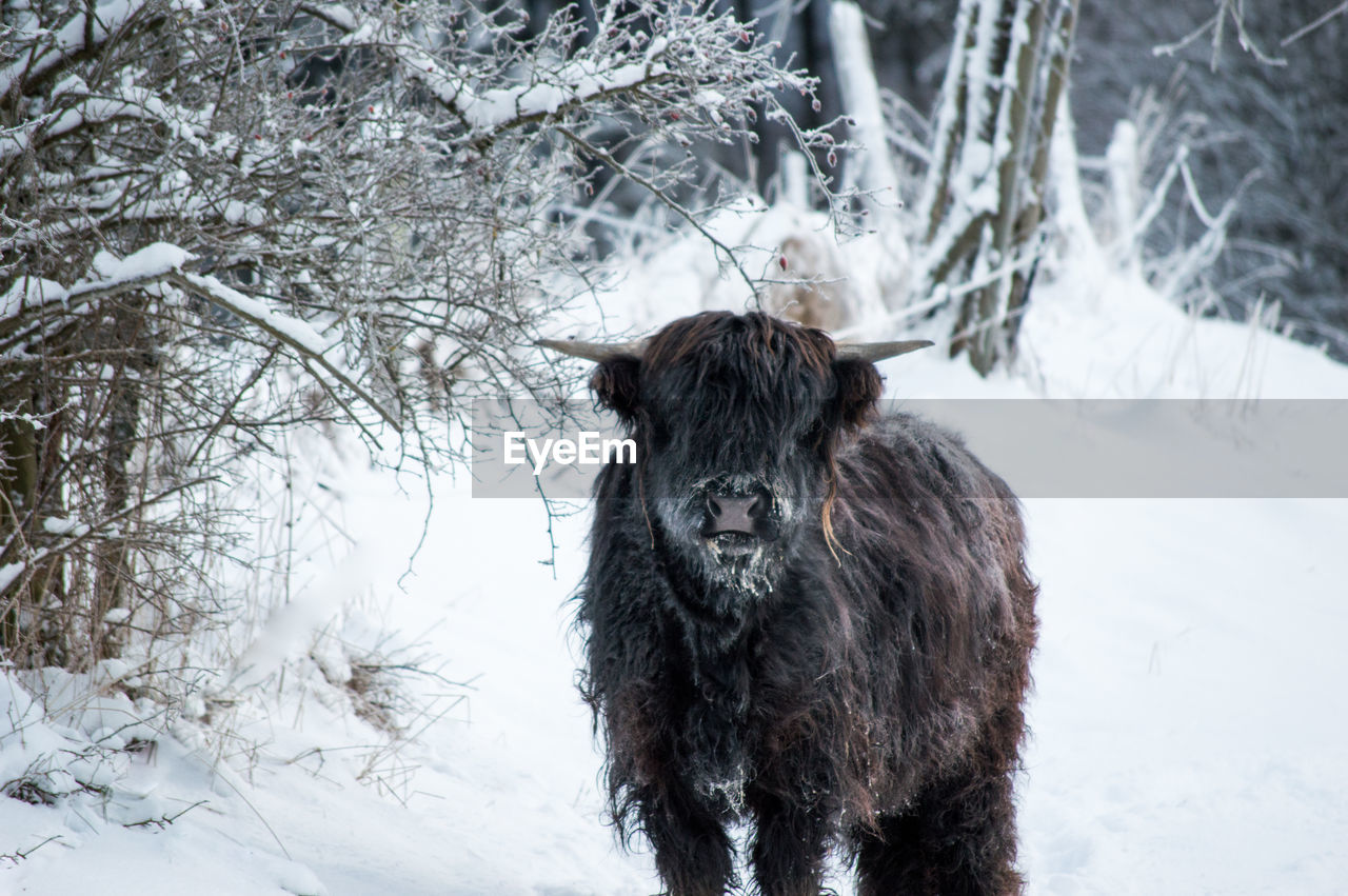 Highland Cattle Standing On Snow Field During Winter