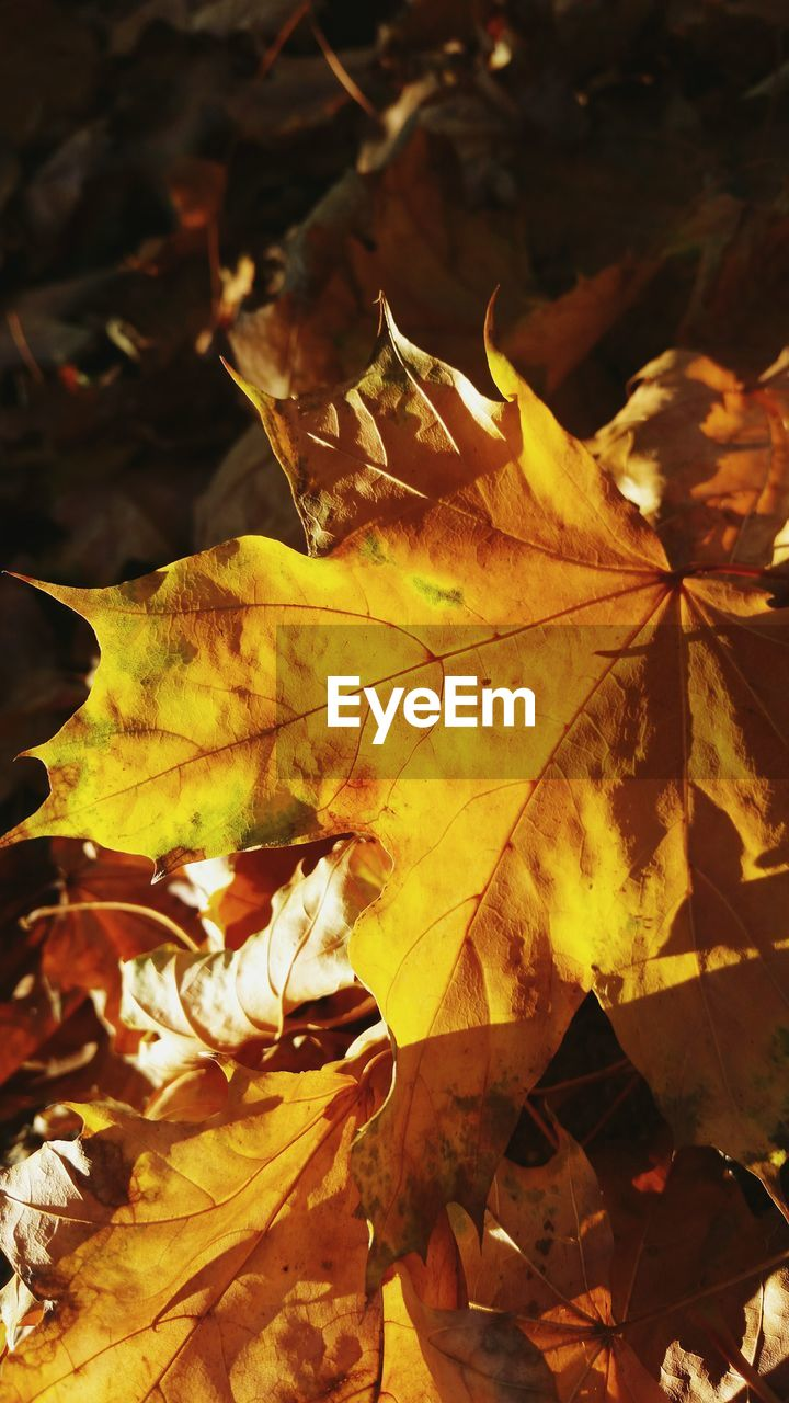 leaf, autumn, change, dry, leaves, nature, maple leaf, maple, outdoors, day, beauty in nature, no people, yellow, close-up, fragility