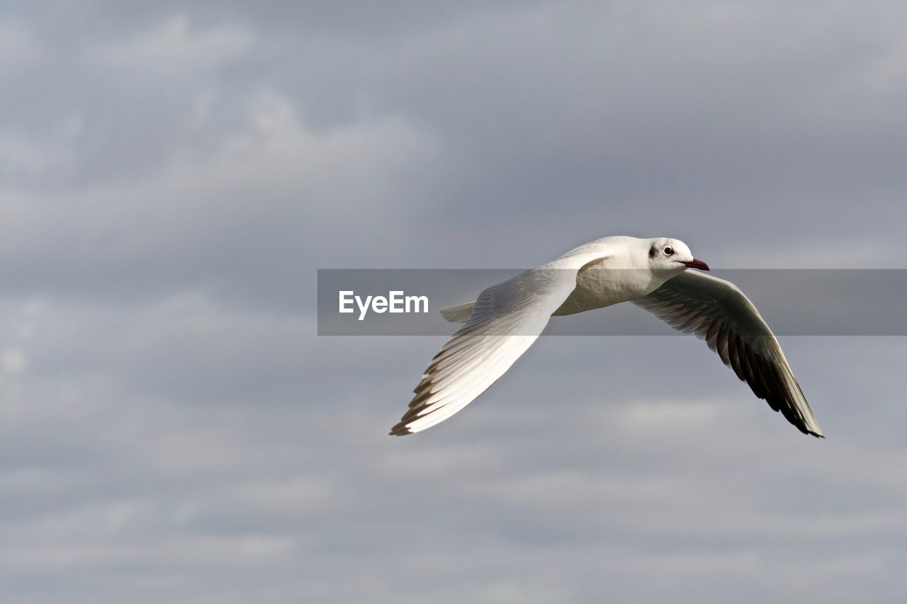 Low angle view of seagull flying against cloudy sky