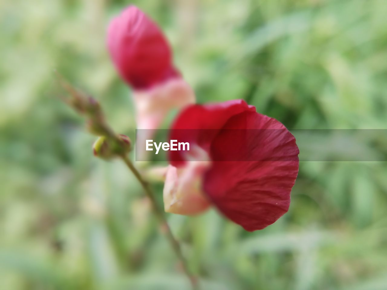 flower, red, nature, fragility, petal, beauty in nature, growth, no people, flower head, outdoors, freshness, plant, day, close-up, blooming, hibiscus