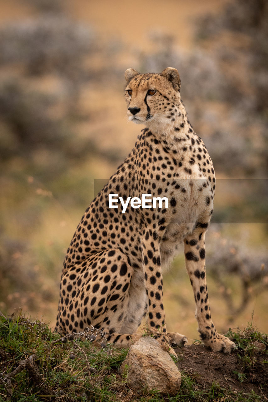 animals in the wild, animal wildlife, animal themes, animal, big cat, mammal, one animal, feline, focus on foreground, no people, cat, vertebrate, cheetah, looking, nature, carnivora, day, looking away, spotted, outdoors