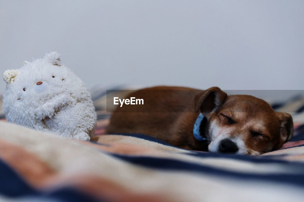 pets, domestic, mammal, domestic animals, dog, canine, animal themes, animal, one animal, relaxation, indoors, resting, vertebrate, brown, no people, selective focus, lying down, sleeping, copy space, close-up, animal head