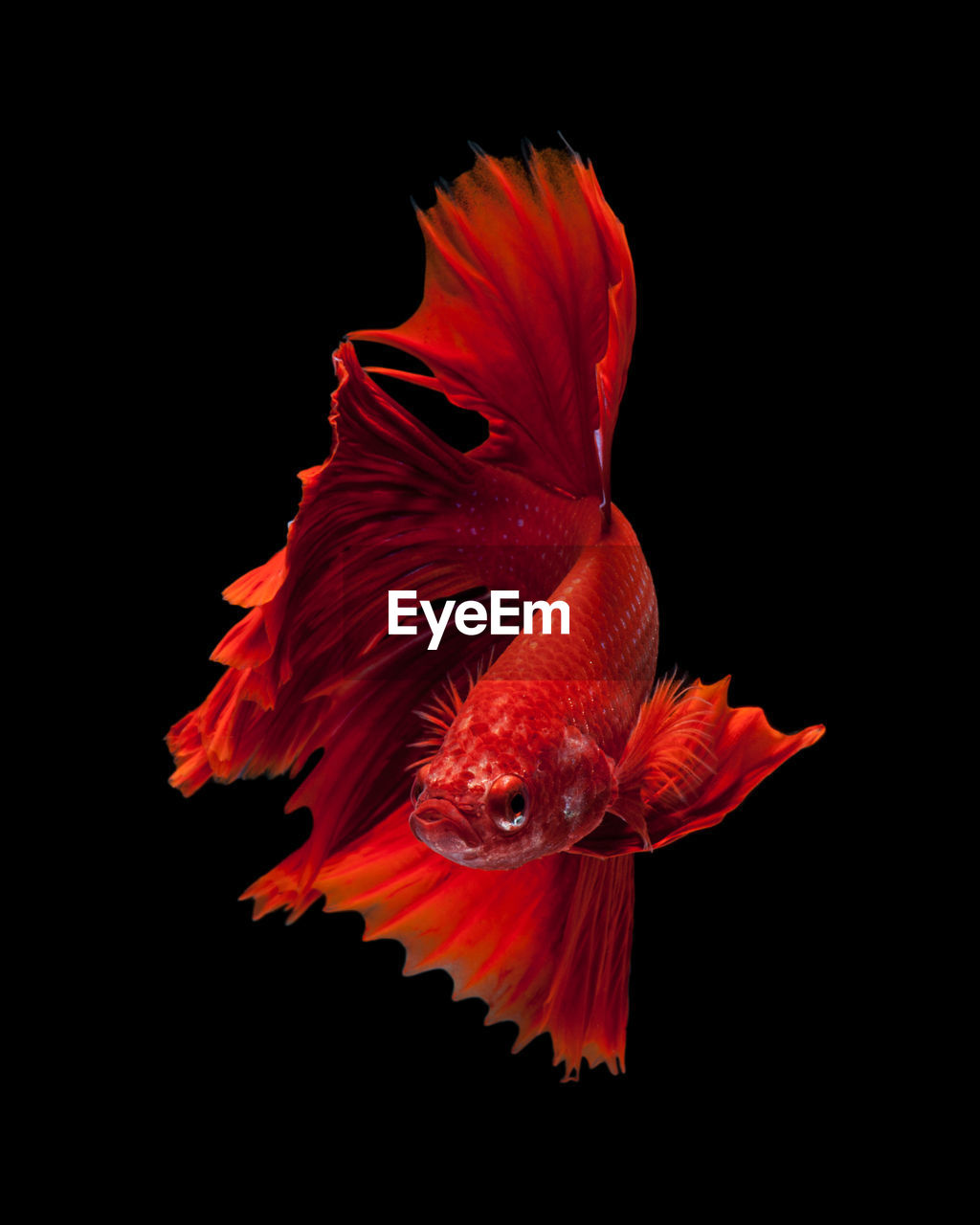 black background, fish, orange color, studio shot, vertebrate, animals in the wild, close-up, swimming, animal, nature, animal themes, no people, animal wildlife, indoors, one animal, petal, red, beauty in nature, copy space, water, flower head, marine, flower, tail fin