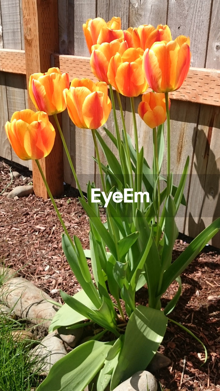 flower, nature, petal, beauty in nature, freshness, growth, fragility, tulip, plant, no people, flower head, blooming, outdoors, day, close-up