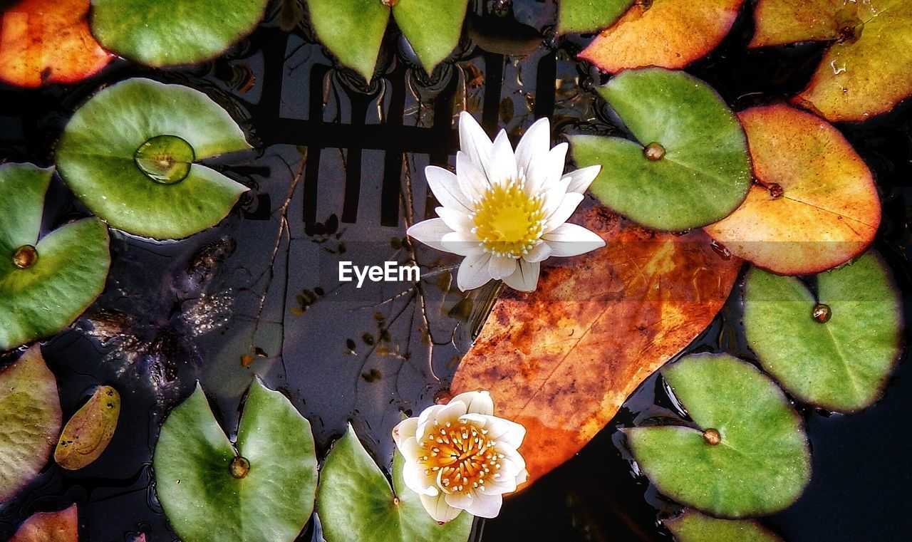 flower, leaf, beauty in nature, freshness, nature, petal, water lily, fragility, flower head, growth, floating on water, close-up, water, directly above, plant, no people, lotus water lily, day, lily pad, outdoors