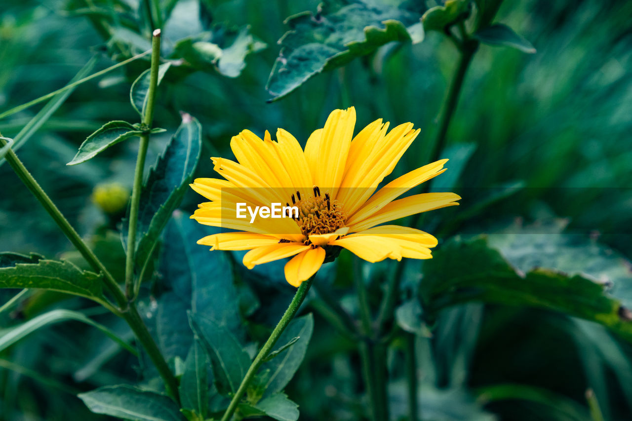 flower, flowering plant, yellow, plant, freshness, fragility, vulnerability, beauty in nature, growth, flower head, petal, inflorescence, close-up, leaf, plant part, nature, focus on foreground, green color, day, no people, pollen, outdoors, gazania