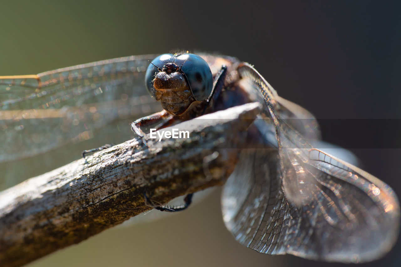 Close-up of a blue dragon fly