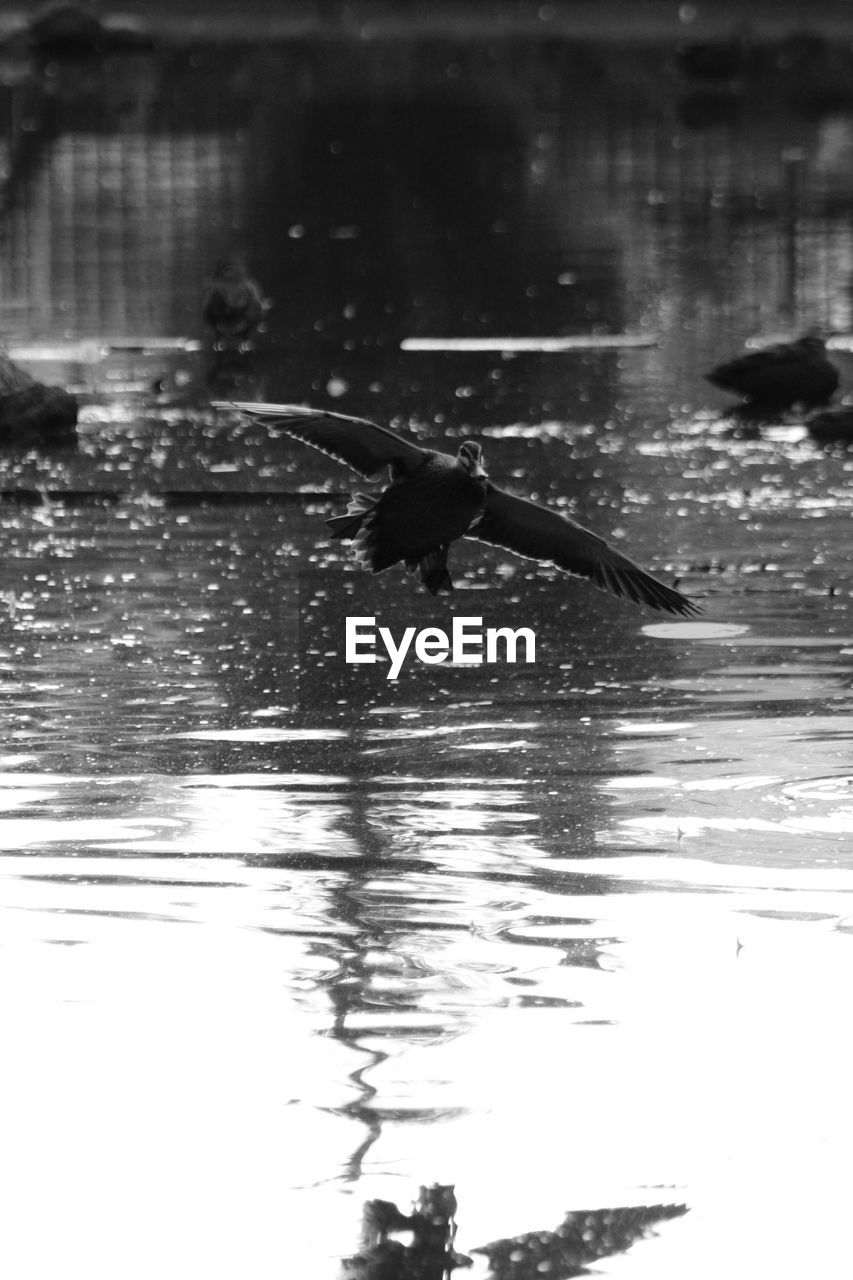 one animal, water, animals in the wild, animal themes, reflection, waterfront, bird, animal wildlife, spread wings, outdoors, day, nature, swimming, lake, flying, motion, no people, cormorant
