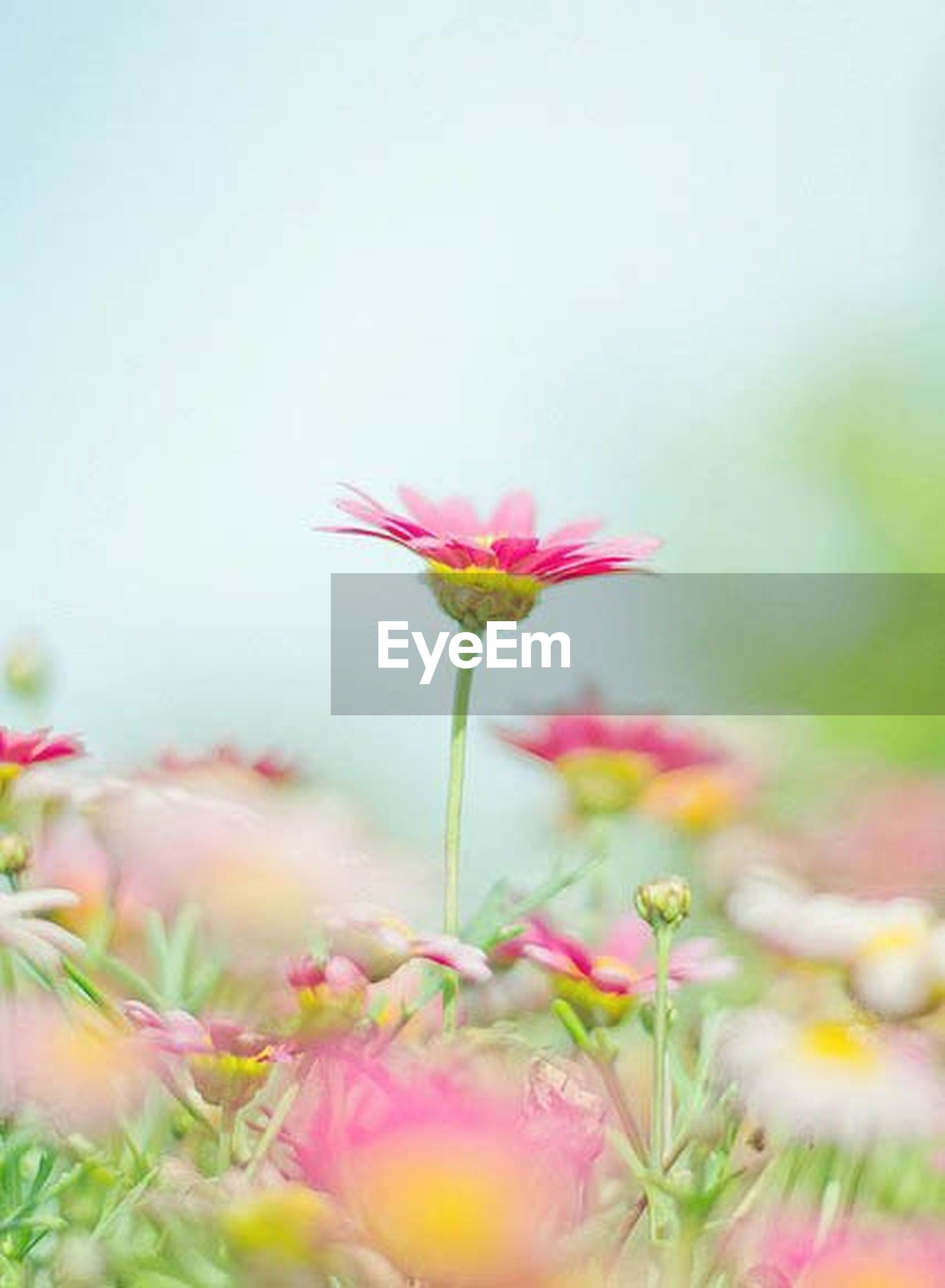 flower, freshness, fragility, petal, growth, flower head, beauty in nature, stem, pink color, focus on foreground, blooming, nature, plant, bud, close-up, selective focus, in bloom, blossom, field, botany