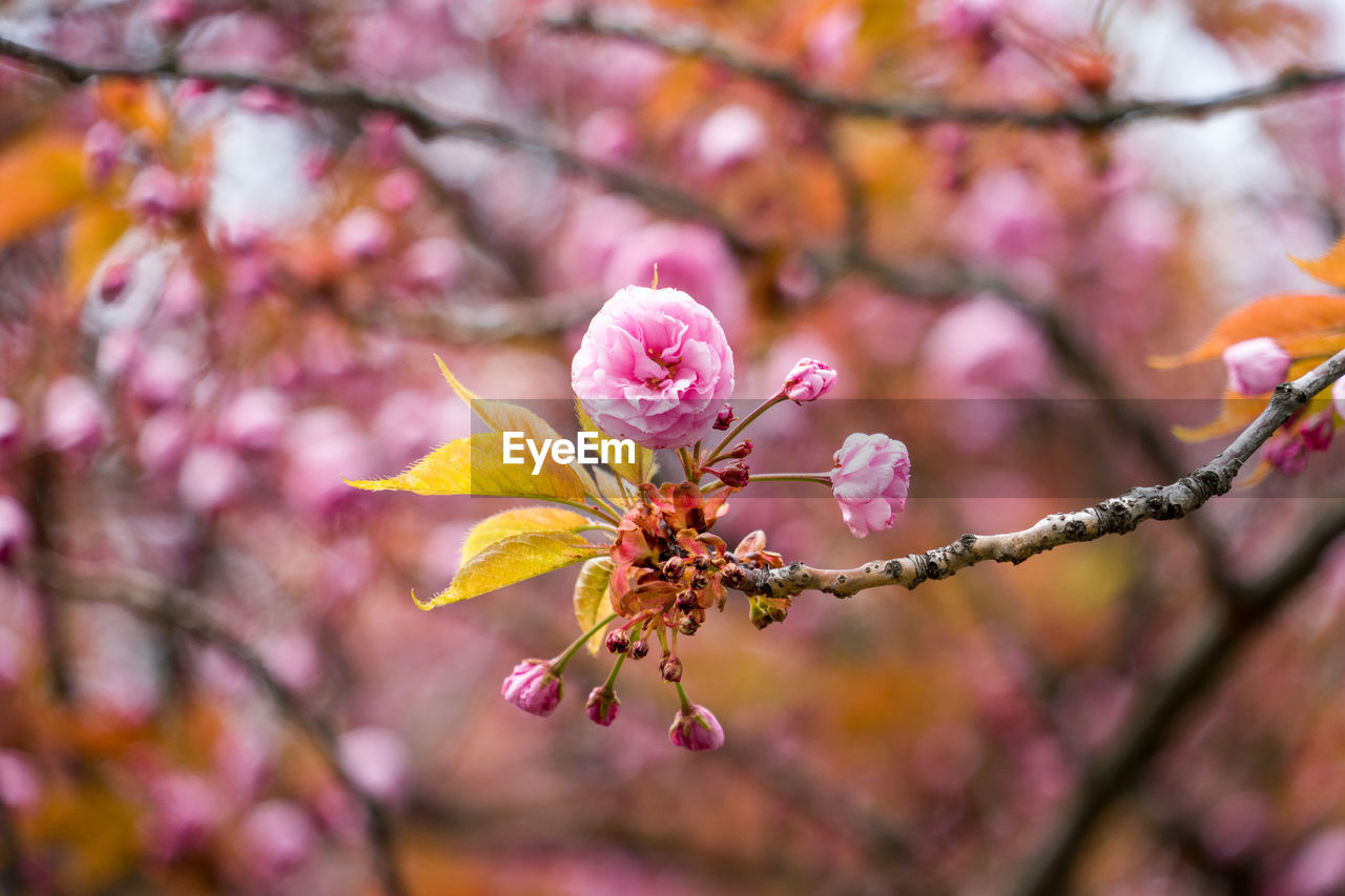 flower, flowering plant, plant, fragility, beauty in nature, pink color, growth, vulnerability, freshness, close-up, branch, tree, focus on foreground, petal, nature, no people, day, flower head, blossom, inflorescence, springtime, outdoors, cherry blossom, pollen, cherry tree, plum blossom, spring, pollination