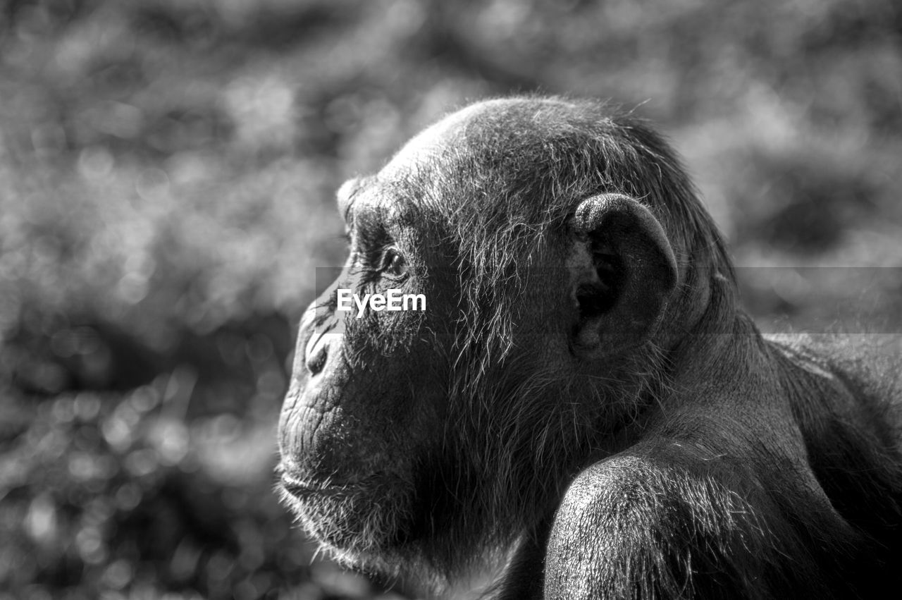 primate, monkey, animal, mammal, animal themes, animal wildlife, animals in the wild, one animal, focus on foreground, ape, close-up, vertebrate, looking, day, looking away, animal body part, animal head, no people, outdoors, zoo, contemplation, profile view